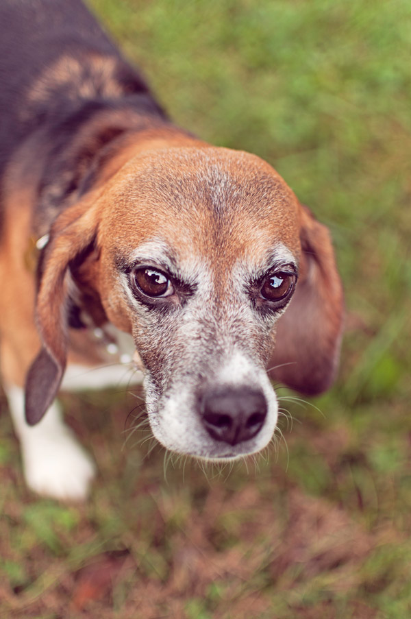 © Sweet Rocket Photography | Daily Dog Tag | Memphis- Beagle-Freedom-Project-Ginger