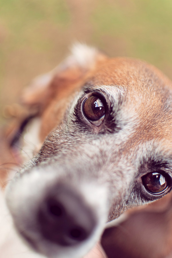 © Sweet Rocket Photography   Daily Dog Tag   Memphis- Beagle-Freedom-Project-Ginger