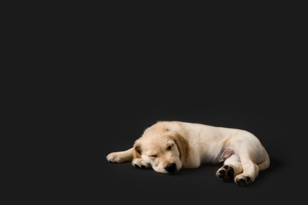 © Chewbone Studio | Daily Dog Tag | Sleeping Golden Retriever Puppy