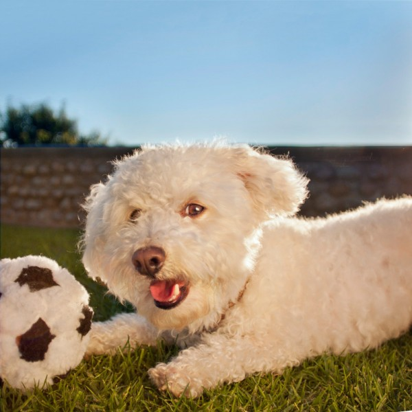 © Fetchlight Pet Lifestyle Photography |Daily Dog Tag | Maltese/Bichon/Poodle with soccer ball