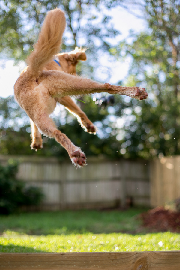 Pup & Co | Daily Dog Tag | amazing-Toller-jumping-shot