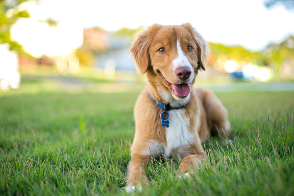 Pup & Co | Daily Dog Tag | smiling-dog, Toller, modern-dog-photography