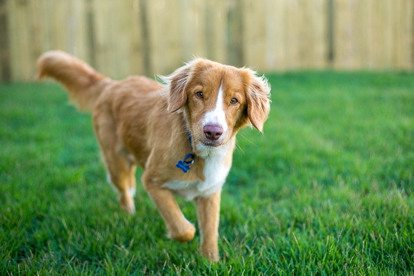 Pup & Co | Daily Dog Tag | Toller-on-location-photography