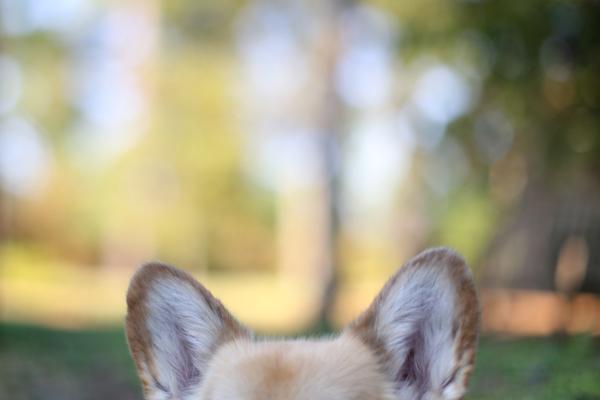 © Katherine Miles Jones Photography | Daily Dog Tag | Pembroke Corgi ears