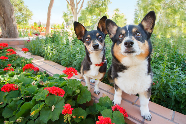 © Kira DeDecker Photography | Daily Dog Tag | brothers: Rat Terrier Mix and Corgi