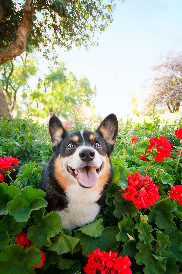 © Kira DeDecker Photography | Daily Dog Tag | Handsome-Happy-Corgi