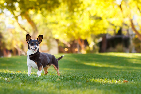 © Kira DeDecker Photography | Daily Dog Tag | Handsome-Rat-Terrier-Mix, senior dog