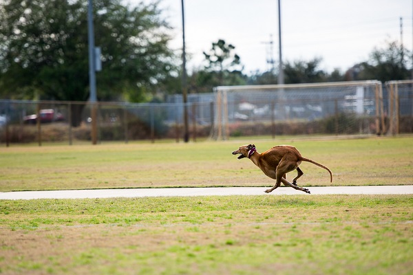 © Lupine Lens Photography | Daily Dog Tag | Greyhound running
