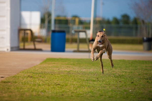 © Lupine Lens Photography | Daily Dog Tag | Greyhound-running-for-joy