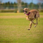 red greyhound running