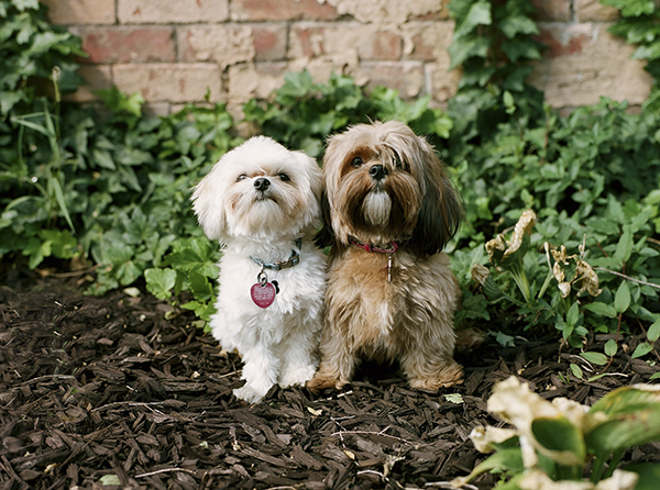 © Loblee Photography  | Daily Dog Tag | dog-Dynamic-duo, Maltese-Shorkie- Shih-Tzu-Yorkie