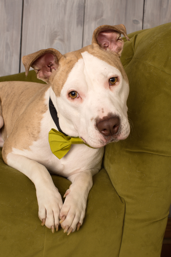© Mad Chicken Studio | Adopt Cotton from Ruff Start Rescue, handsome-dog-in-bowtie