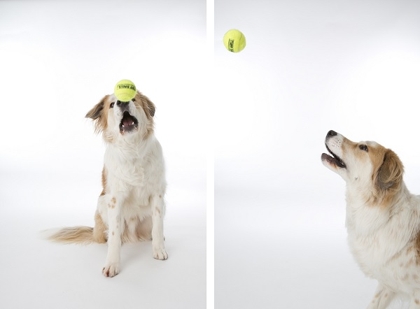 © Fur Kids by Purple Tree Photography | Daily Dog Tag| Dog-catching-ball-studio-photography