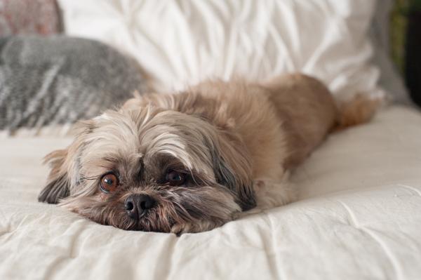 © Alice G Patterson Photography  | Daily Dog Tag | Shih-Tzu, lifestyle-dog-portraits