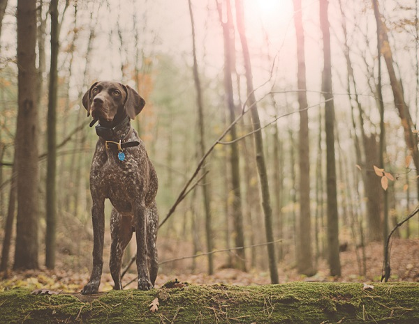 © Patrick Hadley Photography  | Daily Dog Tag | Handsome-German-Shorthaired-Pointer-in-woods