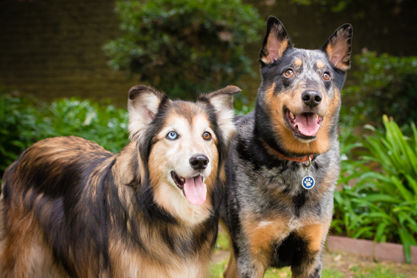 © Westway Studio | Daily Dog Tag | Collie-Mix and Cattledog-Mix