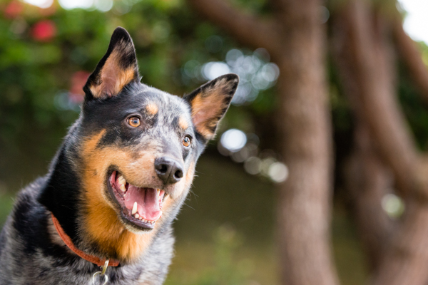 © Westway Studio | Daily Dog Tag | Handsome-Cattle-Dog-Mixed-Breed