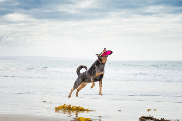 © Westway Studio | Daily Dog Tag | Cattle-Dog-Playing-Frisbee-on-beach
