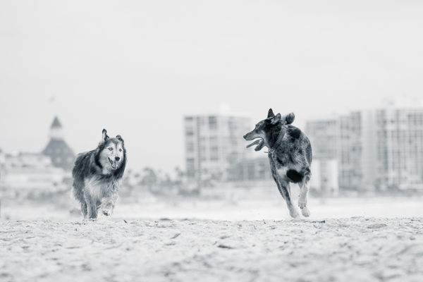 © Westway Studio | Daily Dog Tag | Dogs-playing-on-beach, San-Diego-Pet-Photographer