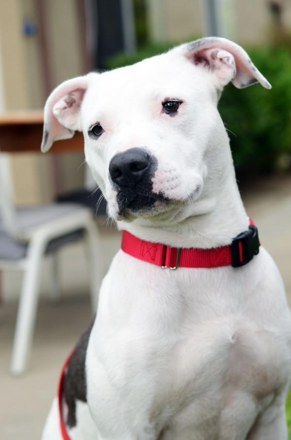 Adoptable Dalmatian-Pit-Bull-mix via http://www.wagaroo.com/#/dogs/2929