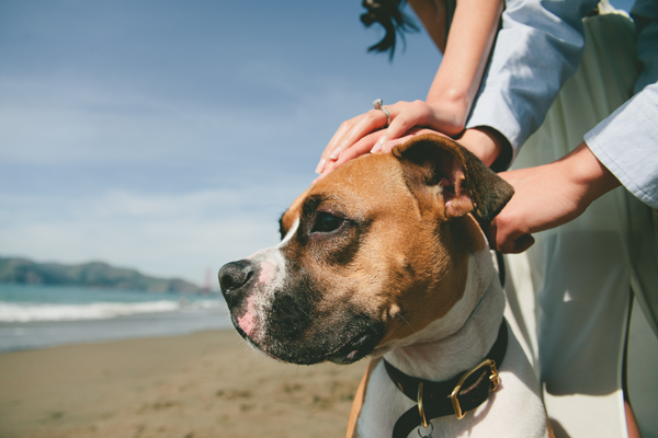 © Vivian Sachs Photography  | Daily Dog Tag | handsome-Boxer-beach-engagement-session