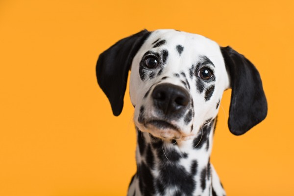 © Chewbone Studio  | Daily Dog Tag | Dalmatian Puppy