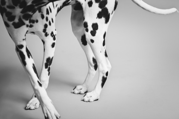 © Chewbone Studio  | Daily Dog Tag | Dalmatian's spotted legs
