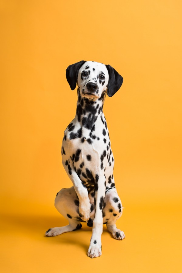 © Chewbone Studio  | Daily Dog Tag | Handsome Dalmatian Tween