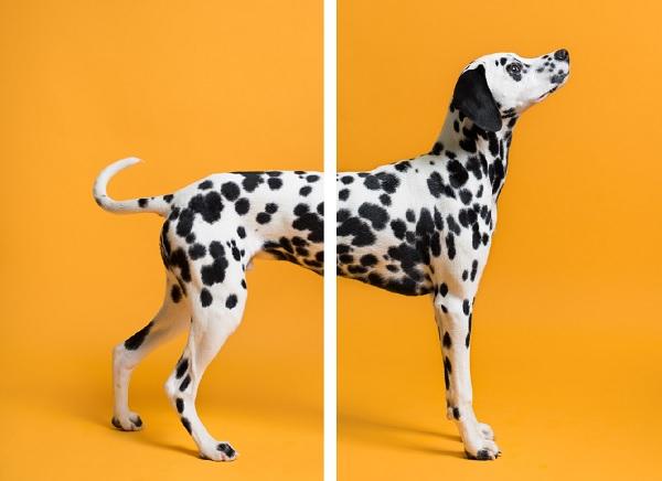 © Chewbone Studio   Daily Dog Tag   Dalmatian Puppy