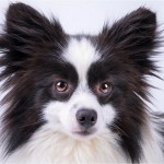 Adoptable-Purebred-Male-Black-White-Pomeranian-National Mill Dog Rescue
