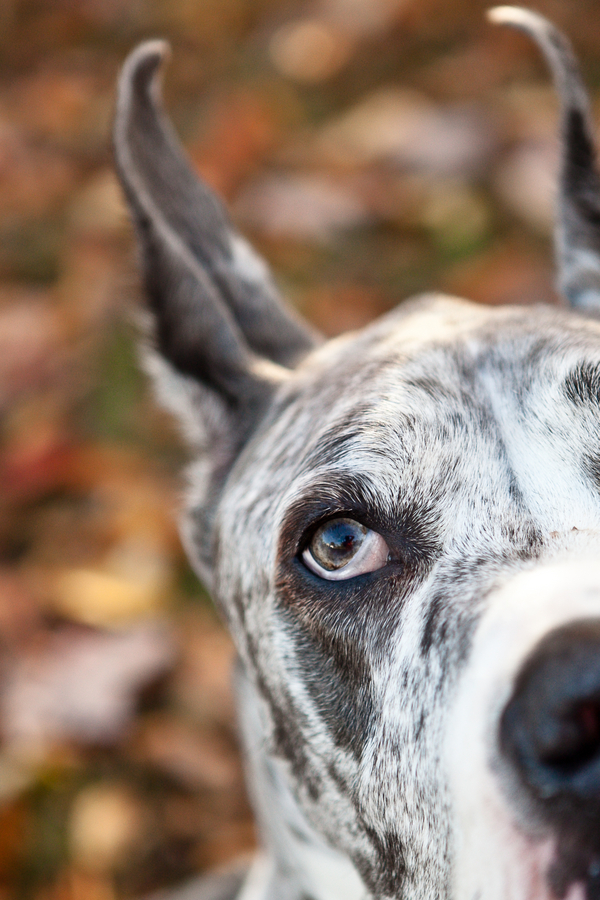 Paw Prints | Pet Portraits by Charlene | Daily Dog Tag | Handsome-Great-Dane
