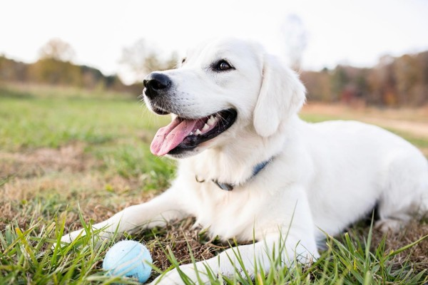 © Melissa Tuck Photography | Daily Dog Tag | Golden-Retriever-pup-with-ball