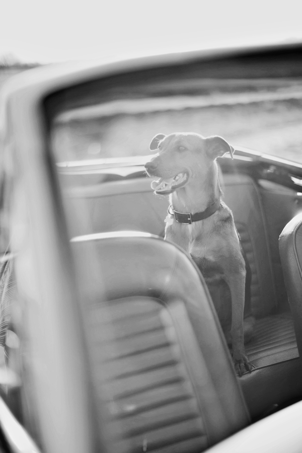 © Melissa Jill Photography | Daily Dog Tag | dog's in backseat of convertible