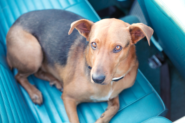 © Melissa Jill Photography | Daily Dog Tag | Mixed-breed-on-backseat-blue-classic-convertible