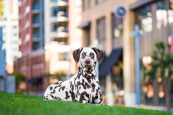 © Westway Studio | Daily Dog Tag | Dalmatian Portrait session:  San Diego