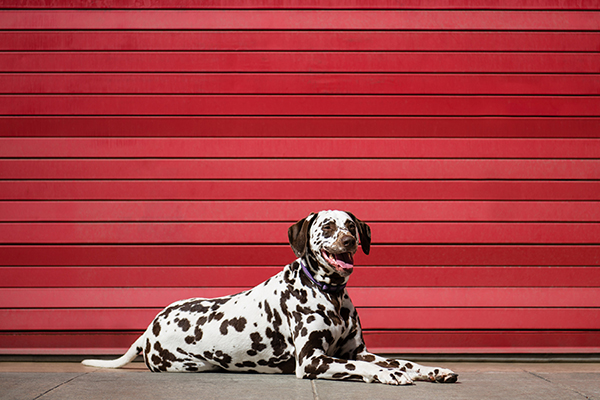 © Westway Studio | Daily Dog Tag | Dalmatian and- Fire-House-Door
