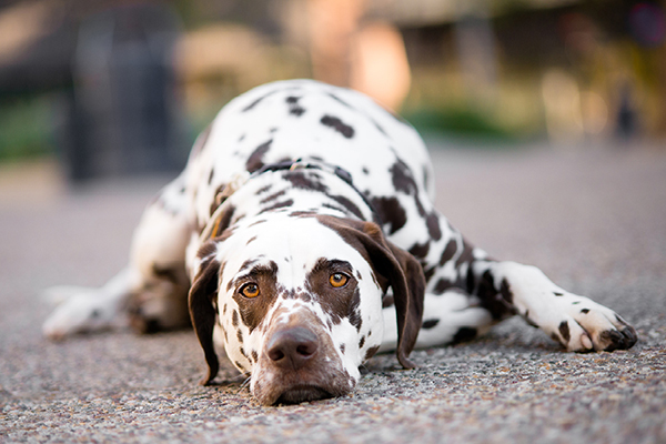 © Westway Studio | Daily Dog Tag | Liver-spotted-Dalmatian