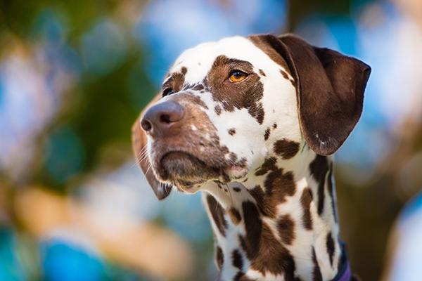 © Westway Studio | Daily Dog Tag |Gorgeous-Dalmatian, San-Diego-Dog-Photography