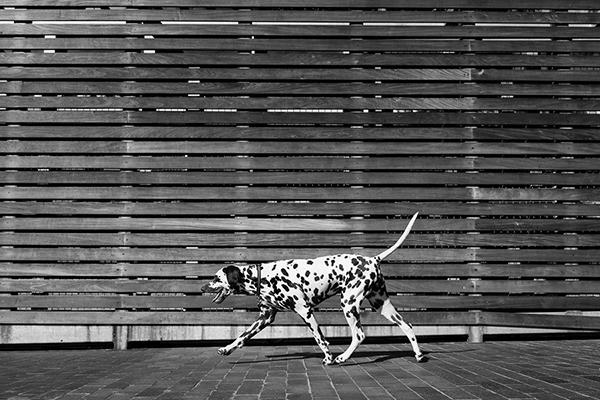 © Westway Studio | Daily Dog Tag | Dalmatian-walking