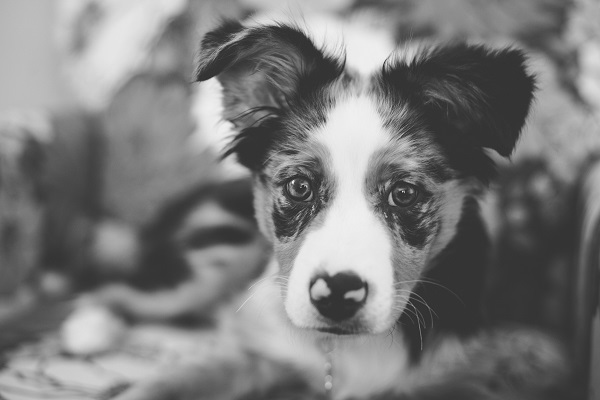 © Moondance Photography | Daily Dog Tag |B-&-W-portrait Mini-Aussie-puppy