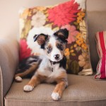 © Moondance Photography   Daily Dog Tag   Mini-Aussie-puppy
