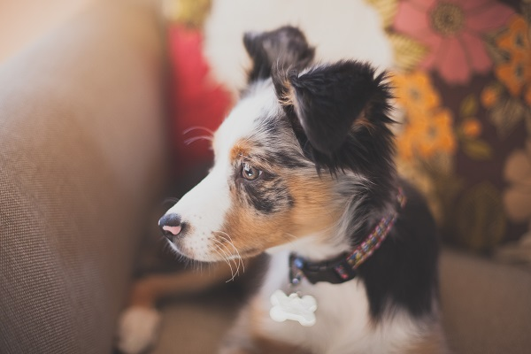 © Moondance Photography | Daily Dog Tag | Mini-Aussie-puppy