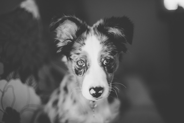 © Moondance Photography | Daily Dog Tag | Mini-Aussie-puppy, On-location-Pet-Photographer, St-Louis, MO