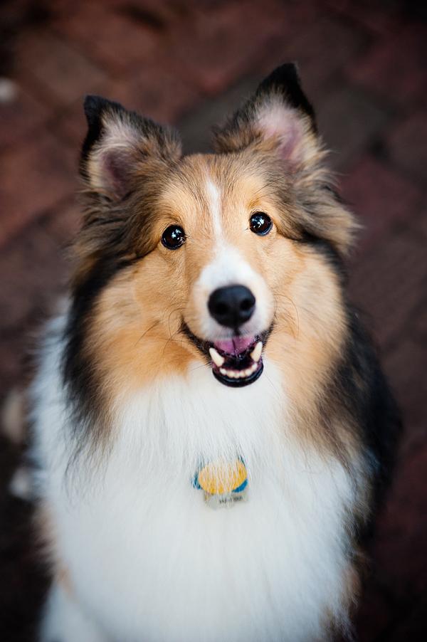 © Emilee Fuss Photography   Daily Dog Tag   Handsome-Shetland-Sheepdog, Florida-Pet-Photographer
