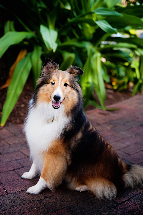 © Emilee Fuss Photography | Daily Dog Tag | Handsome #Sheltie