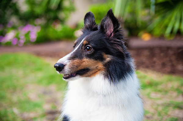 © Emilee Fuss Photography | Daily Dog Tag | Tricolored-Sheltie