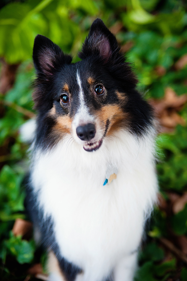 © Emilee Fuss Photography | Daily Dog Tag | Adorable-Sheltie-Photos