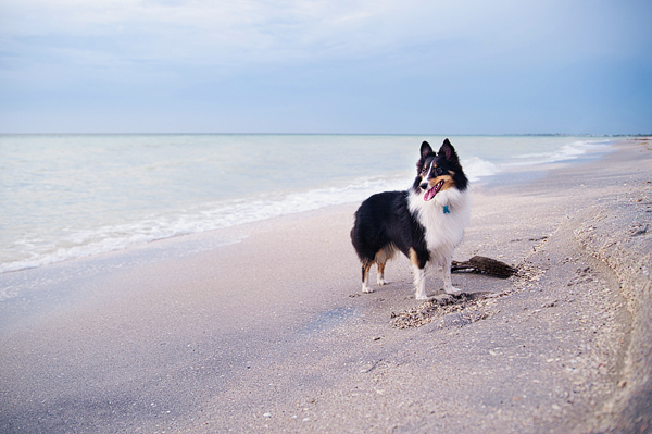 © Emilee Fuss Photography | Daily Dog Tag | Sheltie-at-Boca-Grande