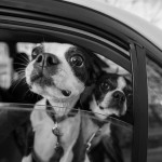 | Daily Dog Tag | Boston-Terriers and maternity-shoot
