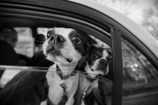 j.ro photography | Daily Dog Tag | Boston-Terriers-in-car